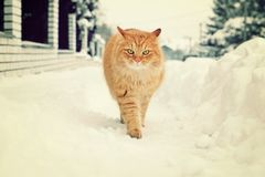 Beautiful cat in winter. Beautiful ginger cat walk in winter royalty free stock photos