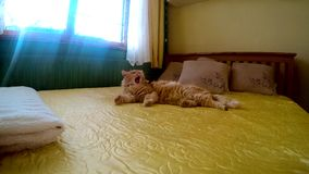 Beautiful cat woke up on the bed in the room, 4K stock video footage