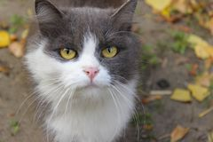 Beautiful Cat With Yellow Eyes, Close Up. stock images