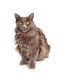 Beautiful Cat with Yellow Eyes Looking Forward Royalty Free Stock Photos