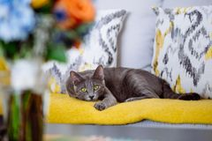 Beautiful cat with yellow eyes, sitting on the couch. Looking towards the camera. Yellow blanket matching the eyes stock photo