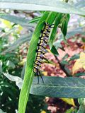 Beautiful caterpillar Royalty Free Stock Image
