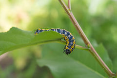 Beautiful caterpillar royalty free stock photo