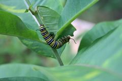 Beautiful caterpillar eating plant on a nice garden. Beautiful caterpillar, a future monarch butterfly, foraging on a nice plants in a garden by a nice day of royalty free stock image