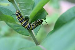 Beautiful caterpillar eating plant on a nice garden. Beautiful caterpillar, a future monarch butterfly, foraging on a nice plants in a garden by a nice day of stock photo