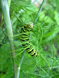 Caterpillar of machaon sitting on the fennel Royalty Free Stock Photos