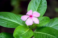 Beautiful Catharanthus roseus flowers natural. stock photography