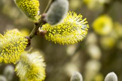 Beautiful Catkins Blossom in Springtime. Easter Time stock photography