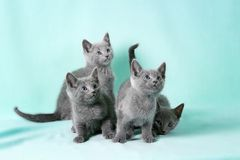 Beautiful cats Stock Photography