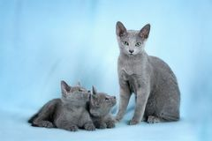 Beautiful cats. Kittens (breed Russian Blue) on the blue background Stock Images