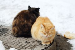 Beautiful cats black and foxy color on the street in winter. View Royalty Free Stock Images