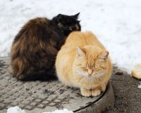 Beautiful cats black and foxy color on the street in winter. View Royalty Free Stock Photo