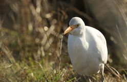 A beautiful Cattle Egret Bubulcus ibis hunting for food in a field where cows are grazing in the UK. A Cattle Egret Bubulcus ibis hunting for food in a field stock image