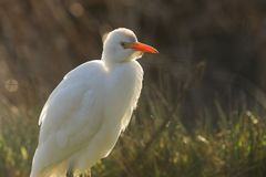 A beautiful Cattle Egret Bubulcus ibis hunting for food in a field where cows are grazing in the UK. A Cattle Egret Bubulcus ibis hunting for food in a field stock photography