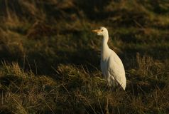 A beautiful Cattle Egret Bubulcus ibis hunting for food in a field where cows are grazing in the UK. A pretty Cattle Egret Bubulcus ibis hunting for food in a stock photos