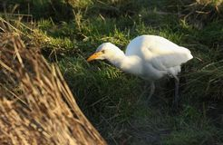A beautiful Cattle Egret Bubulcus ibis hunting for food in a field where cows are grazing in the UK. A pretty Cattle Egret Bubulcus ibis hunting for food in a royalty free stock images