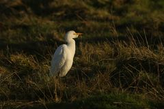 A beautiful Cattle Egret Bubulcus ibis hunting for food in a field where cows are grazing in the UK. A pretty Cattle Egret Bubulcus ibis hunting for food in a royalty free stock photos