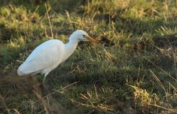 A beautiful Cattle Egret Bubulcus ibis hunting for food in a field where cows are grazing in the UK. A pretty Cattle Egret Bubulcus ibis hunting for food in a stock image