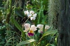 Beautiful cattleya orchid in the garden. Stock Photo