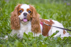 Beautiful cavalier king charles spaniel in the grass background Stock Image