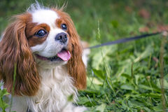 Beautiful cavalier king charles spaniel in the grass background Royalty Free Stock Image