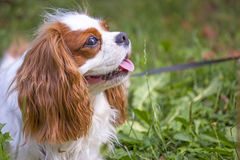 Beautiful cavalier king charles spaniel in the grass background stock photography