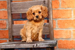 A beautiful Cavalier King Charles Spaniel mix puppy sits on an old chair Royalty Free Stock Photography