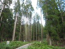Beautiful cedar Royalty Free Stock Photos