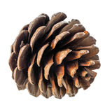Beautiful cedar cone is isolated on white background Stock Photos