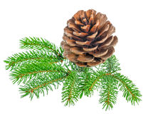Beautiful cedar pine cone and needles is isolated on white backg Royalty Free Stock Image