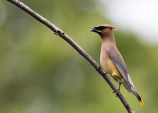 Beautiful Cedar Waxwing is perched on single branch with berry Stock Photos