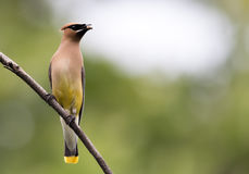 Beautiful Cedar Waxwing is perched on single branch looking right Stock Photo