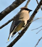 Beautiful cedar waxwing on tree branch. Yellow red gray waxwing Stock Image