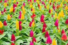 Celosia flower. Beautiful celosia flower blooming in garden Stock Photos
