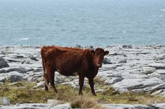 Beautiful celtic cow in the Burren national field. Beautiful celtic cow on the Burren field right off the water of Ireland Stock Images