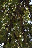 The beautiful Ceratonia Siliqua in farmland royalty free stock images