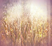 Beautiful cereal - wheat field Stock Image