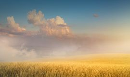 Beautiful cereals field in nature on sunrise, panoramic landscape; Ears of golden wheat stock images