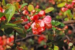 Beautiful Chaenomeles japonica flower Stock Photography