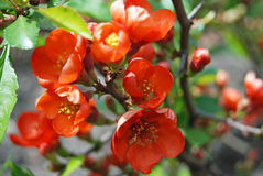 Beautiful Chaenomeles japonica flower Royalty Free Stock Photos