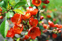 Beautiful Chaenomeles japonica flower Stock Photos