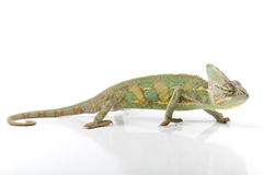 Beautiful chameleon Stock Photos