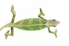 Beautiful chameleon Stock Image