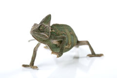 Beautiful chameleon Stock Photos