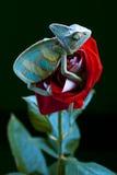 Beautiful Chameleon Royalty Free Stock Image