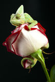 Beautiful chameleon Stock Photography