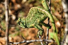 Chameleon on a branch under the sun royalty free stock photo