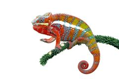 Chameleon panther, chameleon, colorfull, reptile. Beautiful chameleon on branch with white background Royalty Free Stock Photo