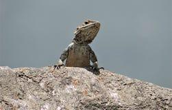 Beautiful chameleon potrait shot sitting on rock royalty free stock image