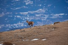 Beautiful chamois jumping in the Mountain of Pyrenees stock photos